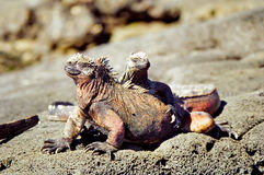 Iguanes marins de Galapagos Photos libres de droits