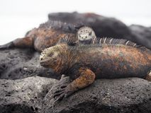 Iguanes marins de Galapagos, cristatus d'Amblyrhynchus, se reposant sur des roches dans des îles de Galapagos, l'Equateur photographie stock libre de droits