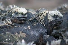 Iguanes marins, Galapagos Photographie stock