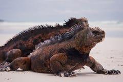 Iguanes marins sur la plage. Image libre de droits