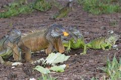 Iguanes verts fouraging au-dessus de la mangue et de la laitue Images libres de droits