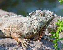 Iguania Immagini Stock