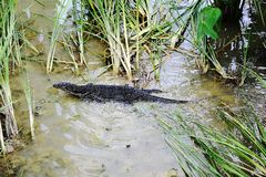Iguanian lizard Stock Image