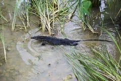Iguanian lizard Stock Photos