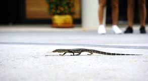 Iguanian lizard Stock Photography