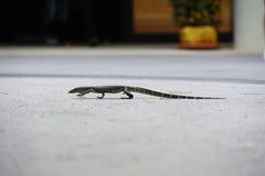 Iguanian lizard Stock Photo
