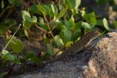 蜥蜴iguanid 库存图片