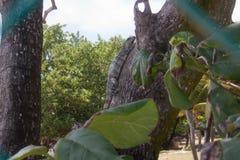 Iguanita Fotos de Stock Royalty Free