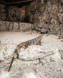 Iguanna Mayan ruïnes Stock Foto
