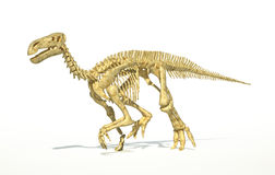 Iguanodon dinosaur full skeleton photo-realistic and scientifically correct. Royalty Free Stock Images