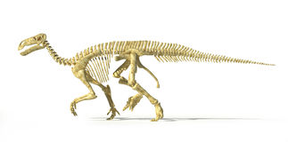 Iguanodon dinosaur full skeleton photo-realistic side view. Stock Image