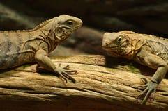 Iguany czerń Zdjęcia Stock