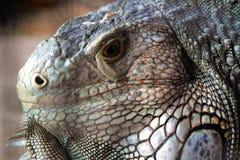 Iguany głowa Obrazy Stock