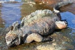 iguany galapagos marine Zdjęcie Royalty Free