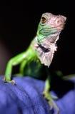 Iguany Iguana fotografia royalty free