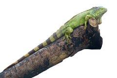 iguany jaszczurka Fotografia Stock