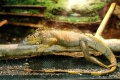 Iguany który śpi na gęstej gałąź Zdjęcie Royalty Free