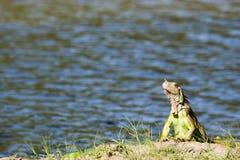 Iguany laguna złudzenia, tomas garrido canabal park w Villahermosa, Tabasco, Meksyk Zdjęcie Stock