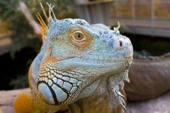 Iguany patrzeć Obrazy Royalty Free