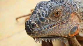 Iguany twarz od pobliskiego widoku obraz royalty free