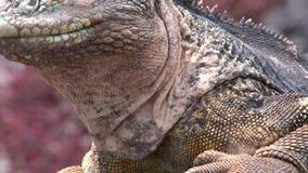 Iguany zakończenie na skalistym Galapagos wyspy zbiory