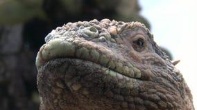 Iguany zakończenie na skalistym Galapagos wyspy zbiory wideo