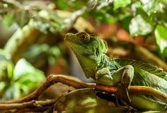 Iguany zieleń Obraz Stock