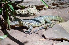 Iguany zielony i żółty dosypianie Fotografia Stock