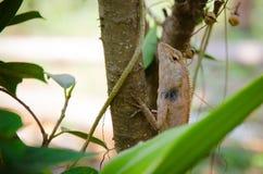 Iguna dans le nord-Eathern de la Thaïlande Images stock