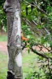 Iguna in North Eathern Thailand. Iguna in North-Eathern of Thailand (Lacertilia sp Stock Photography