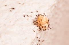 Ihärdiga myror som bär mat över kanten av väggen Royaltyfria Foton