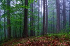 Ihe forest with nice green trees there is fog and mizzle in the summer day. Royalty Free Stock Photo