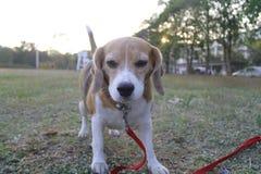Ihr Name ist Chamoy Hund in Thailand lizenzfreie stockfotos