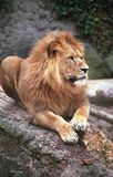 ii国王狮子 免版税库存照片
