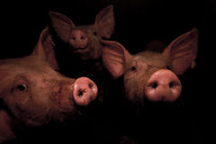 ii猪 免版税库存图片