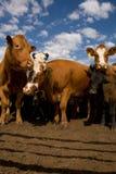 ii czujny krowy Zdjęcia Royalty Free