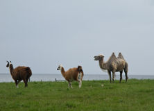IIama, Lama, Camel. Two llamas and one camel standing on a medow with ocean in background Royalty Free Stock Image