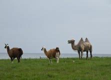 IIama, Lama, Kameel Royalty-vrije Stock Afbeelding