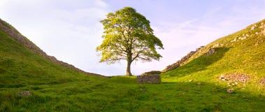 iii罗马结构树 免版税库存照片