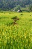 稻III 库存图片