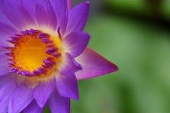 III waterlily Стоковые Фото