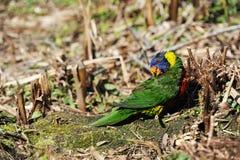 Ijdelheid in de Vogelwereld Stock Foto's