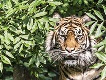 Ijn do tigre um caplivity da árvore foto de stock