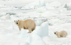 IJsbeer,北极熊,熊属类maritimus 库存照片