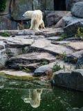 Ijsbeer Royalty-vrije Stock Foto's
