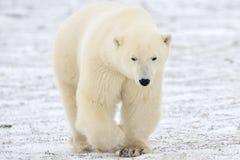 Ijsbeer Royalty-vrije Stock Afbeelding