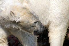 Ijsbeer Stock Foto's