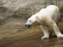 Ijsbeer bij Dierentuin Royalty-vrije Stock Foto