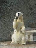 Ijsbeer in de dierentuin Stock Afbeelding