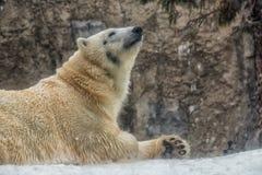 Ijsbeer die in de sneeuw in de Winter rusten Stock Afbeelding